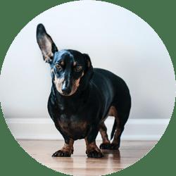 Un chien qui reste à l'écoute