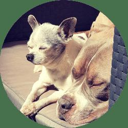 Un whihuahua et un bully qui dorment ensemble