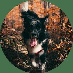 Un chien attentif en promenade